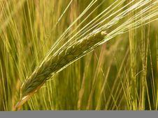 Free Food Grain, Barley, Triticale, Hordeum Stock Photo - 99289170