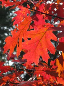Free Maple Leaf, Leaf, Autumn, Maple Tree Stock Image - 99291141