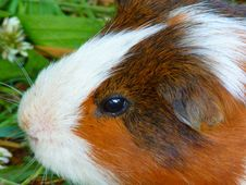 Free Fauna, Guinea Pig, Whiskers, Close Up Royalty Free Stock Photos - 99294318