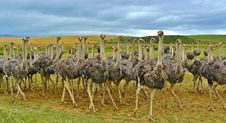 Free Ostrich, Ratite, Flightless Bird, Bird Royalty Free Stock Photo - 99295165