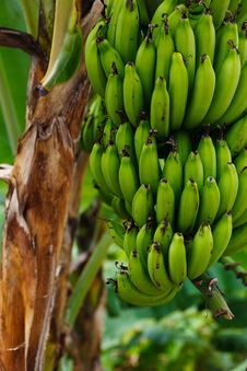 Free Banana, Saba Banana, Plant, Flora Stock Photography - 99295502