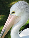 Free Pelican Stock Photos - 9935173