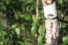 Free Birches Stock Photos - 9930383