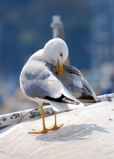 Free Seagull Royalty Free Stock Photography - 9931837