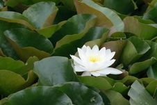 Free Water Lily Royalty Free Stock Photography - 9931857