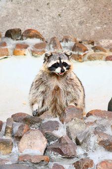 Free Raccoon Stock Image - 9932541