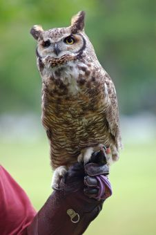 Free Great Horned Owl Stock Images - 9934204