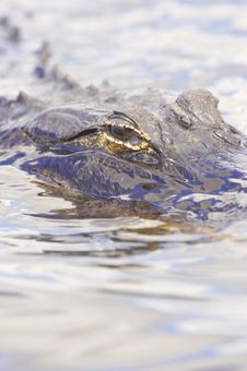 Free Alligator Up Close Stock Photo - 9935580
