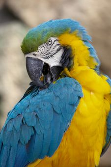 Free Blue And Gold Macaw Royalty Free Stock Image - 9935586