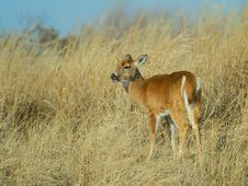 Free Doe In High Grass Royalty Free Stock Photo - 9935595