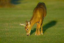 Free Buck Feeding  On Grass Royalty Free Stock Image - 9935596