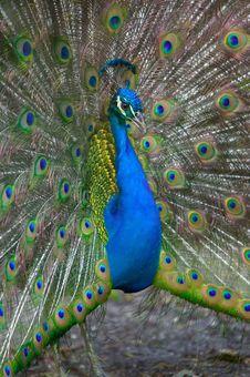 Free Peacock Display Royalty Free Stock Photos - 9935628