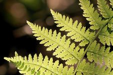 Free Spring Fern Leaf In The Forest Royalty Free Stock Photo - 9935745