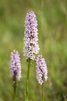 Common Spotted Orchid Stock Images