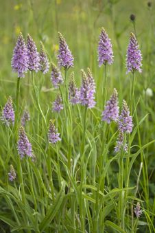 Free Common Spotted Orchid Stock Photos - 9936383