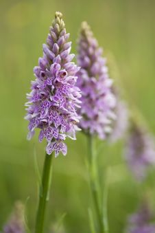 Free Common Spotted Orchid Royalty Free Stock Photography - 9936397