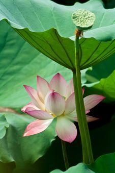 Free Lotus Royalty Free Stock Photography - 9936877