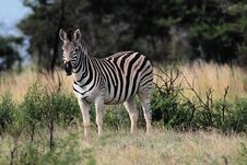 Free Zebra In Savanna Royalty Free Stock Photos - 9938218