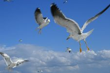 Free Sea-gulls In The Sky Stock Photo - 9939030
