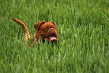 Free Grass, Dog Like Mammal, Dog, Dog Breed Stock Photos - 99300193