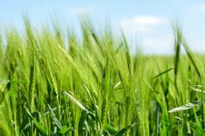 Free Field, Grass, Crop, Grass Family Stock Images - 99300244