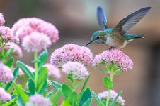 Free Hummingbird Drinking Nectar  Stock Photo - 99337960