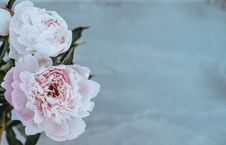 Free Pink Peonies Stock Photography - 99337962