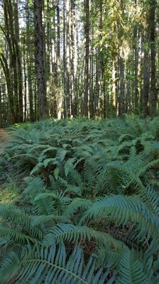 Free Ferns In Forest Royalty Free Stock Photo - 99337995