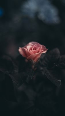 Free Pink Rose Stock Images - 99338004