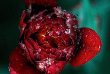Free Red Peony With Dew Drops Stock Images - 99338024