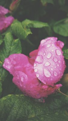 Free Pink Rose With Water Drops Royalty Free Stock Photography - 99338027