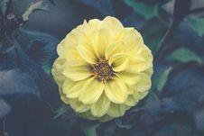 Free Yellow Dahlia Stock Photo - 99338040