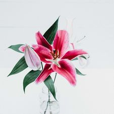 Free Pink Tiger Lily  Stock Photos - 99338043