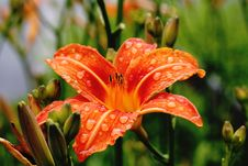 Free Orange Lily Royalty Free Stock Photography - 99338047