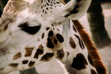 Free Eye, White, Giraffe, Neck Stock Images - 99338204