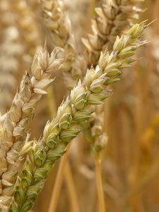 Free Food Grain, Grass Family, Wheat, Grain Stock Image - 99341541