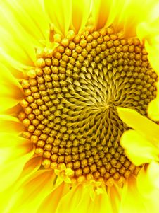Free Flower, Sunflower, Yellow, Sunflower Seed Stock Image - 99346751