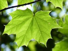 Free Leaf, Plant, Maple Leaf, Flora Royalty Free Stock Photos - 99347638