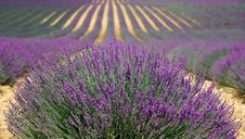 Free Plant, English Lavender, Lavender, Flower Royalty Free Stock Photos - 99348358