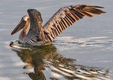 Free Pelican, Bird, Fauna, Seabird Royalty Free Stock Images - 99348749