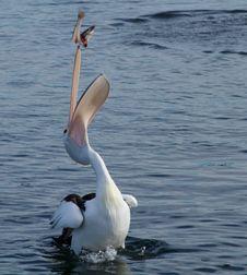 Free Bird, Seabird, Water, Pelican Royalty Free Stock Photos - 99349458