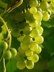 Free Grape, Grapevine Family, Fruit, Seedless Fruit Stock Photography - 99351942
