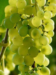 Free Grape, Fruit, Grapevine Family, Seedless Fruit Stock Photos - 99352433