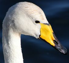 Free Beak, Bird, Water Bird, Ducks Geese And Swans Royalty Free Stock Photo - 99354675