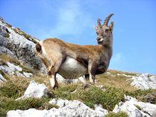 Free Fauna, Wildlife, Goats, Goat Antelope Stock Photography - 99359122