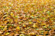Free Yellow, Deciduous, Leaf, Autumn Royalty Free Stock Image - 99360206