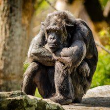 Free Chimpanzee, Fauna, Common Chimpanzee, Great Ape Stock Photos - 99364513