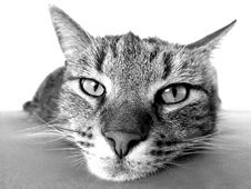Free Cat, Whiskers, Black And White, Face Royalty Free Stock Image - 99366246