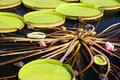 Free Water Lily Leaves Stock Photography - 9943692