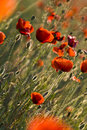Free A Field Of Red Poppies. Royalty Free Stock Images - 9946089